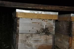wyciek pszczół